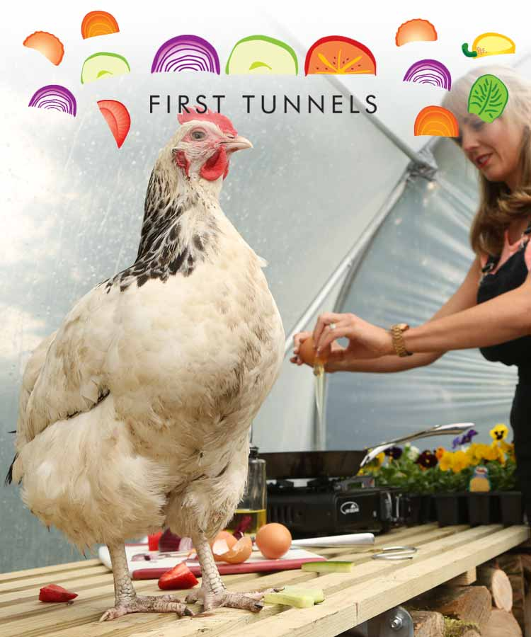 chicken in a polytunnel