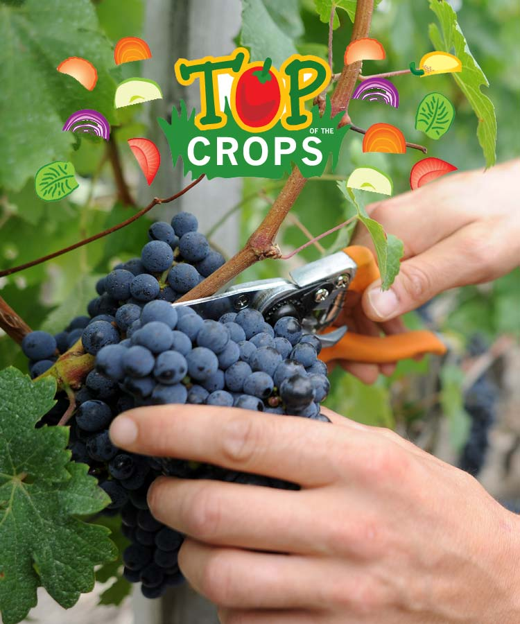 Top of The Crops - Grapes Growing Guide | First Tunnels